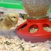 The Fitchburg Public Libray's chicks that hatched last week are now in a bigger cage for everyone to see. They will be at the Library for a couple of weeks and then go back to farm they came from. SENTINEL & ENTERPRISE/JOHN LOVE