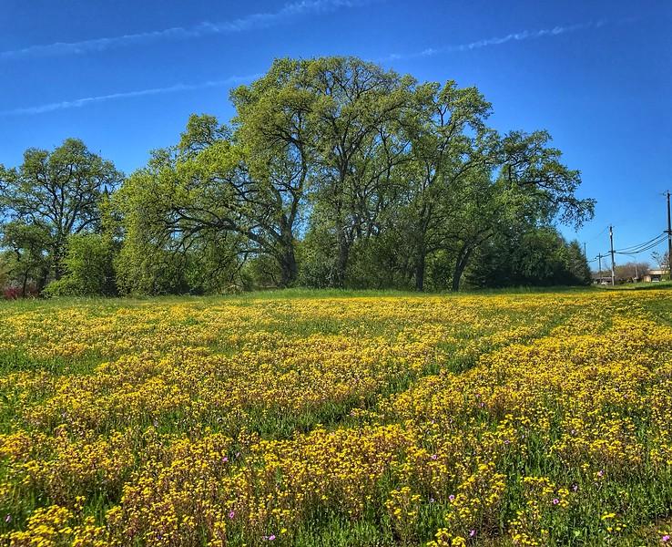 Wildflowers and Oak Tree Chico, California