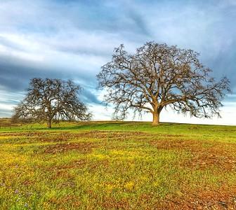 Wildflowers and Oak Tree Table Mountain, California