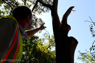 City of Chico Urban Forest Manager Richie Bamlet points out a recent broken branch in Bidwell Park near Caper Acres Tuesday, July 10, 2018. Bamlet wrote a grant application that landed a $426,000 grant from Cal Fire. The grant will help the city with a tree inventory, including checking and planting trees in Bidwell Park.  (Bill Husa -- Enterprise-Record)
