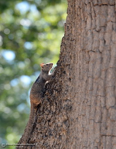 A squirrel climbs a tree in Bidwell Park near Caper Acres Tuesday, July 10, 2018.  Chico Urban Forest Manager Richie Bamlet wrote a grant application that landed a $426,000 grant from Cal Fire. The grant will help the city with a tree inventory, including checking and planting trees in Bidwell Park.  (Bill Husa -- Enterprise-Record)