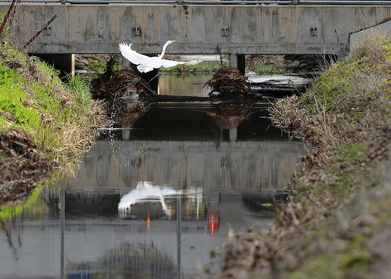 An egret feeds and takes flight Thursday, Jan. 12, 2017, in Donny Brook in Chico, California. (Dan Reidel -- Enterprise-Record)