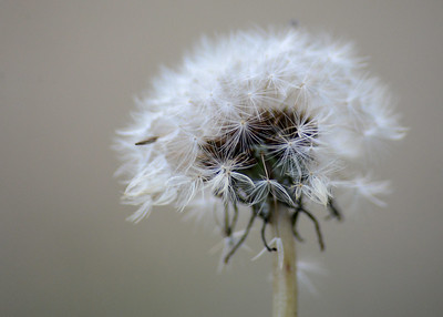 A dandelion Thursday, Jan. 12, 2017, at the Enterprise-Record property in Chico, California. (Dan Reidel -- Enterprise-Record)