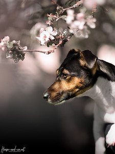 Petite Jack Russel de printemps