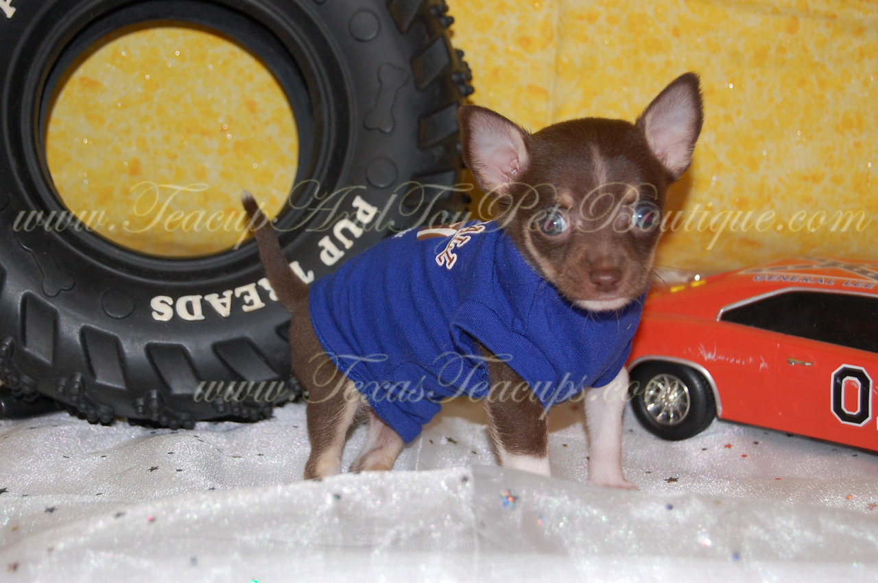 "PUPPY NUMBER # 2602<br /> My New Owners Name: Lacey Fagahn<br /> Puppy's Name: Pee Wee<br /> Date Sold : October 2012<br /> <br /> FROM: Kaufman Texas<br /> BREED: Chihuahua<br /> SEX: Male<br /> COLOR: Chocolate<br /> DATE OF BIRTH: 6/8/12<br /> Pet Boutique Sales Representative: Rebecca<br /> <br /> Customer Comments:<br /> <br /> If you purchase a puppy in this photo gallery and would like for us to add your puppy's name and comments to the puppy you have purchased. <br /> Send an e-mail with your full name, puppy's name and puppy number to us along with any comments you would like to add to your puppies photo.<br /> You may also send photos of your family members with or without puppy and we will add it to your puppy's photo gallery. <br /> <br /> ==== ( TeacupPets@TexasTeacups.com ) ====<br /> <br /> This Photo is copyright protected by: <a href=""http://www.TexasTeacups.com"">http://www.TexasTeacups.com</a>"