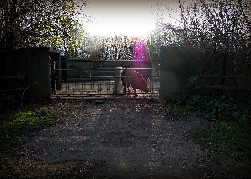 Pig at Mudchute Farm