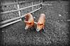 Pigs at Mudchute Farm