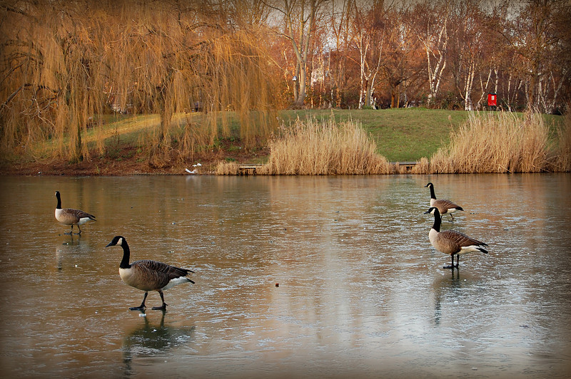 Geese on West Thamesmead lake