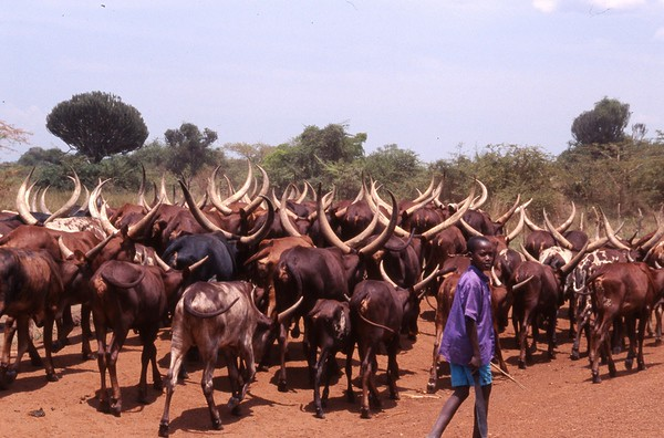 boy herding ankola cattle