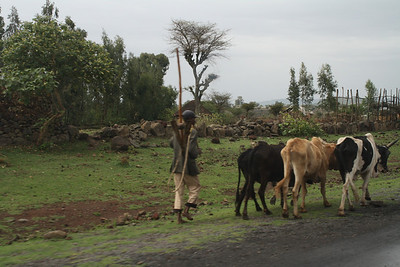 Lots of farmers moving cows, goats and donkeys down the road.