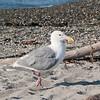 Seagull at Alkai beach.