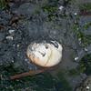 A moon snail exposed during low tide at Alki Beach in West Seattle.