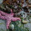 A pair of starfish exposed during low tide at Alki Beach in West Seattle.