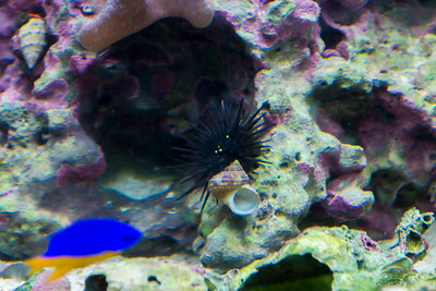 """Sea urchin carrying a shell along for """"defense""""."""
