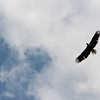 This eagle swooped over the free swim a couple of times. Amazing.