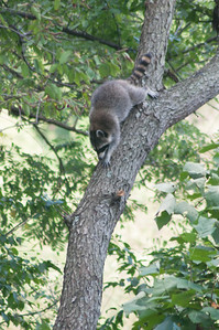 Well, this one isn't Charlotte or Amelia, but the raccoon that has been visiting our tree the last few nights...