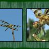 580797060_stripeddragonflycollage#6