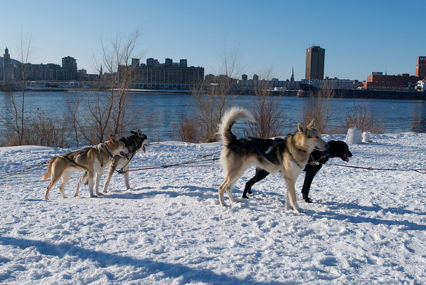 Pretty husky working dogs.  If you look out at the city, you'll see the CBC/Radio Canada building and Molson.  I love the view of Montreal from across the river.