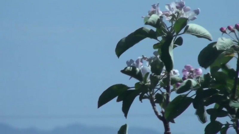 Apple Blossoms Blowing in the Wind.   Fast Motion Video Shot with the Sony SR-10.  1440x1080 7 Mbps.