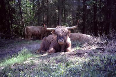 Schotse Hooglanders Imbos