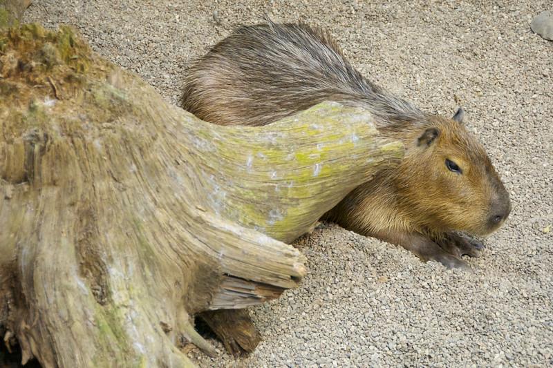 Cute cuddly Capybara
