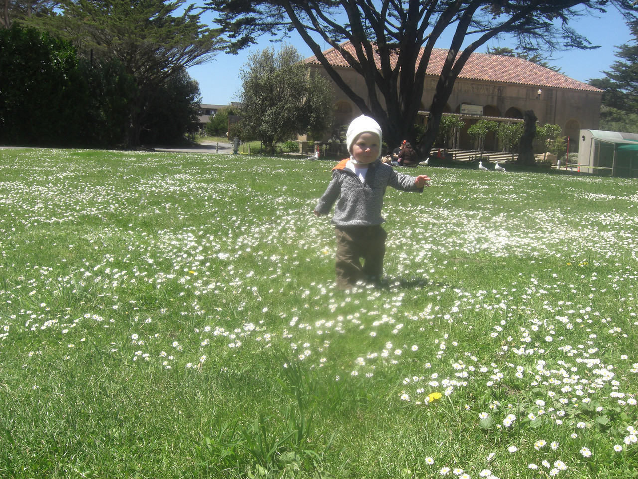 The field of daisies at the San Francisco Zoo