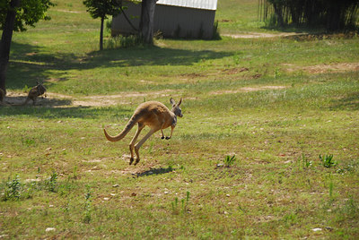 Jumping Roo2