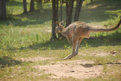Jumping Roo