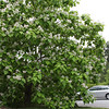 Catalpa-tree-5-16-09