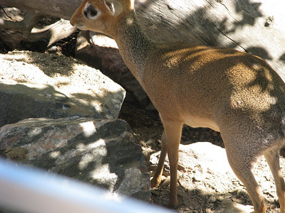 dik dik (really, I can't make up stuff this good)