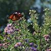 Monarch butterfly arrives in Austin on her way to Mexico