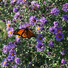 Sweet nectar - as this Monarch literally tastes its food with its feet