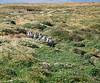 Magellanic Penguins - Seno Otway, Chile