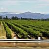 Vineyards near Chillan, Central Valley