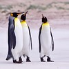 """The Three Tenors"" - Volunteer Point, Falkland Islands - King Penguin"