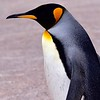 Volunteer Point, Falkland Islands - King Penguin