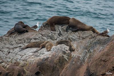 Sea Lions & Seagulls