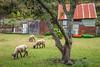 A sheep farm on Quinchao Island, Chile, South America.