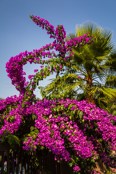 Bougainvillea flowers and palm fronds in Santiago, Chile, South America.