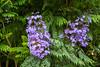 Purple flowers in Valparaiso, Chile, South America.