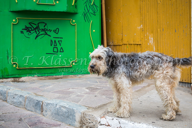 Dogs in the streets of Valparaiso, Chile, South America.