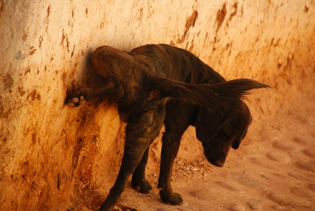 Dog urinating on the wall in San Pedro de Atacama, Chile