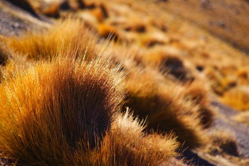 Tumble Weeds are found all over the Atacama Desert - San Pedro de Atacama.  Travel photo from San Pedro de Atacama, Chile.