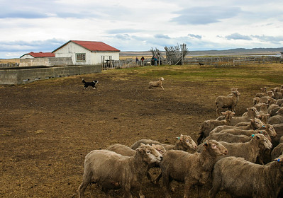 Chile Sheep Ranch and Herding