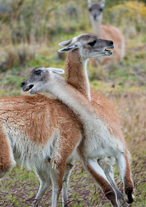 Guanacos, in Torres del Paine National Park, Chile, with lowering storm clouds.