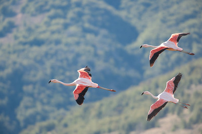 Flamingos in flight in Torres del Paine National Park and UN Biosphere Reserve, Chile.