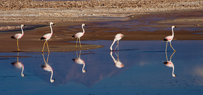 Atacama Desert, Los Flamencos National Reserve, Chilean Flamingos feeding with the reflection of Andean volcanos in the heavily salted wtaers of this laguna.