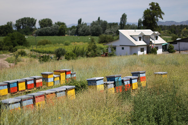 Beehives, Apalta Region, Valle Colchagua, Santa Cruz, Chile