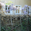Wisteria clings on old wall along house