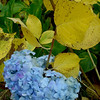Begin series: rainbow of Hydrangea in Autumn. All in our yard.